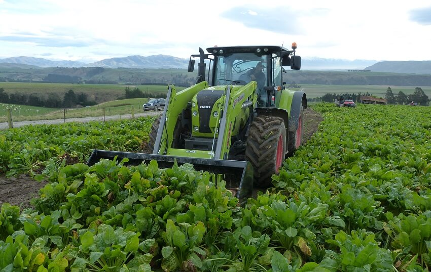Rata Fodder Beet Bucket harvesting beets in southland