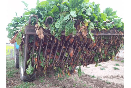 Gaps between the bars of  Rata Beet Bucket leave clean & dirt free crops behind